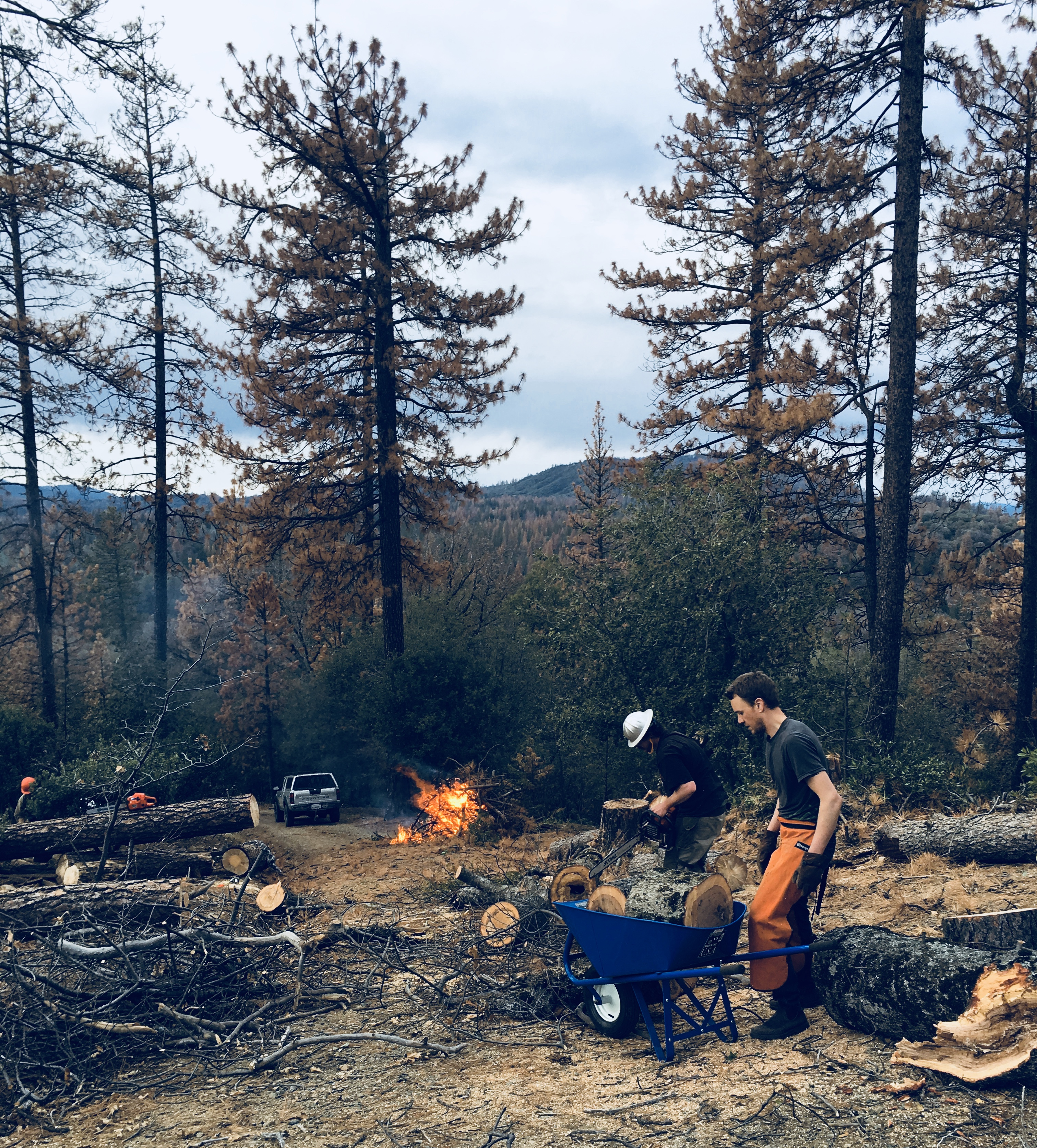 Bark Beetle Epidemic: January 2016 at my home in Midpines, CA